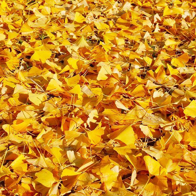 いちょうの葉が美しい絨毯を作っております。 (Instagramより)